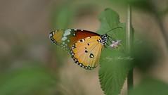 Danaus chrysippus (Imthyas Ahmed Shirajee) Tags: bird nature birds canon butterfly photography eos university photographer wildlife ngc photographers delta east 7d ahmed ctg bangladesh bangla wildlifephotographer birdwatcher chittagong ngg imti pakhi canon70300isusm canonef70300mmf456isusm birdsofbangladesh canoneos7d chattagram canonbangladesh imthyas shirajee mehidibag imthyasahmedshirajee eastdeltauniversity