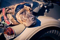 She's a lady (JustaMonster) Tags: dog classic bike bmw amstaff googles sidecare odc2