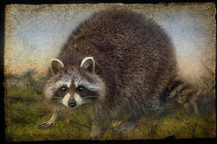 The Racoon (jta1950) Tags: texture nature face animal mask framed bandit racoon d300 essenceofadream rockeyracoon crisbuscaglialenz