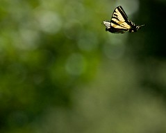 Swallowtail In Flight (Insidiator) Tags: nature animal insect invertebrate butterfly swallowtail tigerswallowtail yellow black flight butterfliesinflight
