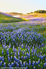 Lupines at the Lake (Jared Ropelato) Tags: california park flowers sunset jared lake flower nature landscape photography spring purple outdoor folsom environmental photograph lupine enviro ropelato ropelatophotography