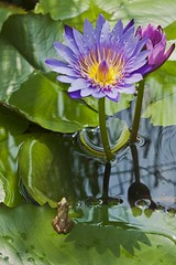 Water Lily & Little Frog (naonishimiya) Tags: flowers flower fauna indonesia flora frog bandung westjava bunga kodok waterliliy