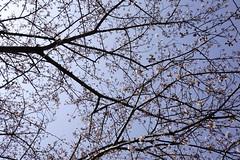 (ddsnet) Tags: travel plant flower japan night sony   cherryblossom  sakura nippon  kansai  nihon hanami  backpackers  flower     nex         cherry  blossom mirrorless osakafu   japan sakashi    flowerinjapan newemountexperience nex7