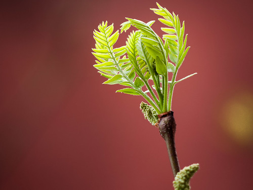 Green Leaves Unfurling