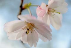 Cherry blossoms (balu51) Tags: macro closeup switzerland spring rosa april cherryblossoms 60mm garten käfer frühling palepink kirschblüten 2013 zierkirschen staubgefässe japanischerblütenkirschbaum copyrightbalu51 playfairaskbeforeusingmyphotos