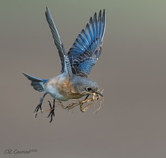 Eastern Bluebird Nest Building (CR Courson) Tags: ngc npc birdsinflight bif easternbluebird sialiasialis thrushes turdidae naturesharmony crcourson chuckcourson