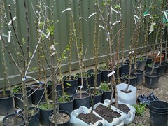 London Orchard Project stock nursery (London Permaculture) Tags: urban tree london apple project orchard land kingscross permaculture pdc grafting graft permaculturedesigncourse londonorchardproject coreblimey alaraforestgarden