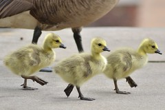 Steppin' (Maggggie) Tags: canadageese chicks yellow stepping forward feet cute pavement parking lot 113picturesfor2013 short explored