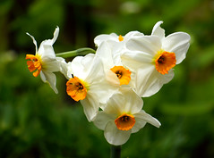 Spring joy (*Gitpix*) Tags: flowers white flower color macro nature closeup germany deutschland petals spring blossom bokeh sony natur blumen daffodil blume makro dsseldorf blte weiss daffodils bltenbltter nahaufnahme springtime farben frhling blten narzissen sonynex7 sonysel55210 narcissusbarrettbrowning