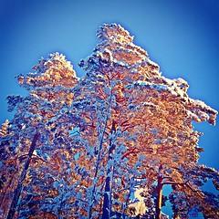 glow #glöd #tree #trees #pine #pines... (TittaBilder) Tags: uploaded:by=flickstagram instagram:photo=394613351749258894271432306 glow gl tree trees pine pines snow winter sky blue orange tr himmel bl tall tallar is sn ice vinter sweden stockholm instagram iphone