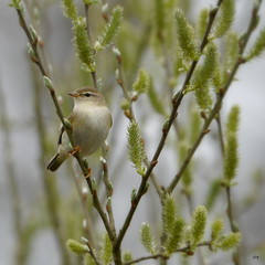willow warbler~Phylloscopus trochilus (jump for joy2010) Tags: uk england birds soft somerset naturereserve pastels april scrub catkins willowtrees warblers willowwarbler phylloscopustrochilus 2013 somersetwildlifetrust catcottheath