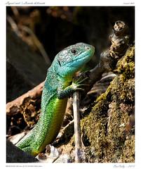 Lzard vert | Lacerta bilineata | (BerColly) Tags: france macro male google flickr vert lizard bleu auvergne lezard puydedome coteaux specanimal aubire bercolly nikkor200f4afmicro
