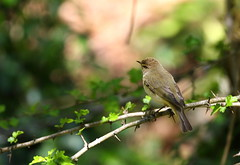 Chiffchaff (Phylloscopus collybita) (Veg_Brush) Tags: brown green bird nature leaves animal branch britain wildlife tail small rear birding feathers british perched spines common spiny warbler vertebrate vocal coelebs chiffchaff omnivore phylloscopus