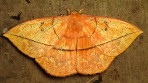 Saturniid Moth, Lonomia columbiana?