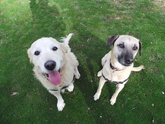 Lucy and Punchkin (Rayya The Vet) Tags: dog goldenretriever vet canine dogwalk fostering twitter whippetcross