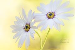 Cape Daisies (Jane Dibnah Botanical Art) Tags: capedaisy osteosperum flora floralart gardenflora gardenphotography nature softfocus selectivefocus macrophotography