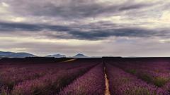 La lavande (Enrico Cusinatti) Tags: clouds cielo canoneos6d cloud enricocusinatti fiore fiori france nuvole orizzonte sky travel viaggi vacanze vegetazione vacation provenza provence valensole purple lavanda lavande lavander