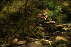Listening (Karen James) Tags: composite jaguar trees rocks river water bracken branches sunandshadow lightandshadow kj