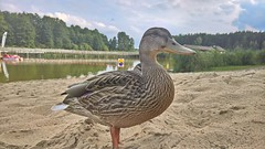 Duck (Lukasznowak83) Tags: duck 950 luma lumia pureview