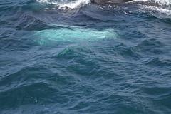 IMG_7522 (Christandl) Tags: wal whale minkwhale whalewatching water sea arcticsea iceland island islande