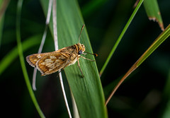 20160803-IMG_7390.jpg (Bmore Beachy) Tags: flower insect pecksskipper nature 20mmextensiontube kenko