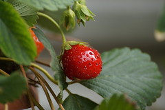 Strawberry (andy8210) Tags: fruits colors yummy strawberry red macro garden nature sony