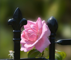 The Pink Rose (swong95765) Tags: rose bokeh fence iron pink wroughtiron beauty fresh sun