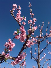 Spring is announced! (Betsie Nel) Tags: pink nature spring ipad peach blooms flower sky