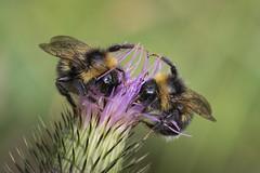 twin bumblebees (Bea Antoni) Tags: canon tamron closeup nahaufnahme makro macro insect insekt bumblebees bumblebee hummeln hummel