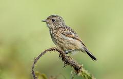 DSC8524  Stonechat.. (jefflack Wildlife&Nature) Tags: stonechat chats songbirds birds avian wildlife wildbirds countryside coastalbirds gorse moorland heathland nature ngc npc