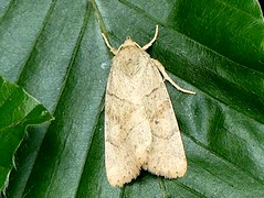 Dun-bar moth - Cosmia trapezina 10.8.16 (ericy202) Tags: moth thetfordforest norfolk beechleaf dunbarmoth cosmiatrapezina