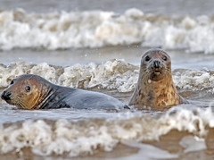 Focas (vic_206) Tags: canoneos7d canon300f4lis focas donnanook uk sea mar seals