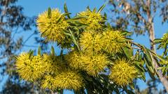 Golden Penda (- Jan van Dijk) Tags: xanthostemonchrysanthus flower bloem goldenpenda geel yellow golden tz110 lumixtz110