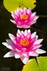 Water lilies (Giuseppe Cammino) Tags: 2016 5d 5dmarkiii austria canon canoneos5d canoneos5dmarkiii ef70300mmf456isusm eos giuseppecammino vienna ef flower ninfee