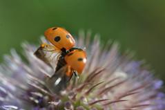 Oeps ! (gelein.zaamslag) Tags: nederland netherlands natuur nature ladybug lieveheersbeestje nikon nikond5000 geleinjansen