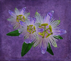 Passionate Trio (njk1951) Tags: passion blooms blossoms passionflower purple paisleybackground trio three leaf