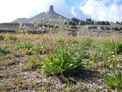 Valeriana edulis (Matt Lavin) Tags: tetonrange alpine subalpine valerianaedulis tobaccoroot ediblevalerian valerianaceae native perennial herb grandtetonnationalpark