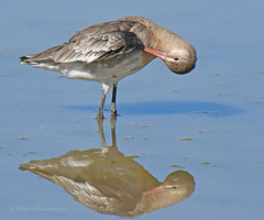 Black-tailed Godwit (PETEJLB) Tags: blacktailedgodwit godwit waterbirds wader birds bird wwtslimbridge uk
