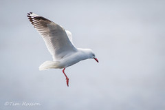 IMG_6992 (timrusson) Tags: silvergull