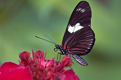hershey butterfly 19_MG_8934 (andyantipin) Tags: select butterflies insects macro red flowers animals