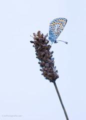 (KirstenDeLaet) Tags: butterfly autumn september nature natuur natur falter schmetterlinge pentax k3 100mm 28100mm macro wr tripod manfrotto balhoofd sirui k30x wireless