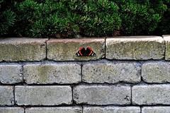 jnowak64 (jnowak64) Tags: poland polska malopolska cracow krakow krakoff architektura mur natura przyroda owad motyl lato mik