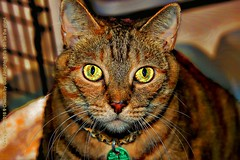 Chloe Smith (NancySmith133) Tags: pets belovedpets catportraits centralfloridausa orangecountyfl crazyoldcatlady