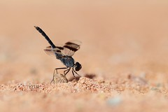 Brachythemis impartita (isabelpn) Tags: insecto liblula anisptero brach brachythemisimpartita elche adulto macho