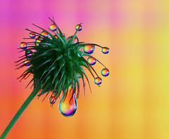 Spikes and drops (Lorraine1234) Tags: drops macro spikes