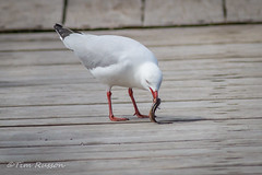 IMG_7011 (timrusson) Tags: silvergull