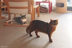 Can the can - for Happy Caturday (Finn Frode (DK)) Tags: cats pose suziquatro caithlin dusharacathalcaithlin somali somalicat som bastian mixedbreed domesticshorthair olympus omdem5 denmark animal pet cat lndoor happycaturday
