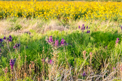 West Texas Morning (28 of 40) (mharbour11) Tags: wildcats elk purple sunrise westtexas texas sky windturbines windmill sun silhouettefire silhouette