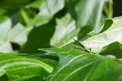 mantis (dvrkjvk) Tags: mantis praying green plant insect small macro
