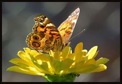 IMG_1794 Lady Light Show 9-15-16 (arkansas traveler) Tags: bichos bugs insects butterfly paintedlady flowers zinnia yellow nature naturewatcher bokeh bokehlicious zoom telephoto